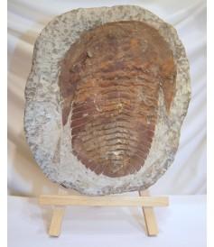 Trilobite sur Matrice (250x200mm)