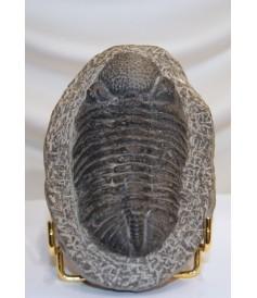 Trilobite Phacops sur matrice (x160x110mm)
