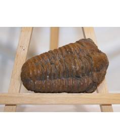 Trilobite Kalimène (400 millions d'années)