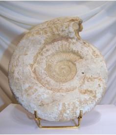 Ammonites Acanthocéras (env 210mm)